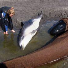 Tasmanijoje išgelbėti 25 iš beveik 300 pakrantėje įstrigusių delfinų