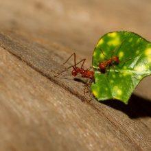 Lapkirpės skruzdėlės tapo pirmaisiais žinomais biomineralinius šarvus turinčiais vabzdžiai
