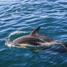Naujojoje Zelandijoje išgelbėti 28 ant seklumos užplaukę delfinai