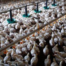 Vyriausybė pasitarime pritarė paramos koncepcijai paukštininkystės ir kiaulininkystės sektoriams