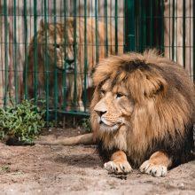 Lietuvos zoologijos sode liūtai šventė savo dieną