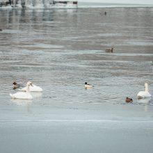 Suskaičiavo, kiek ir kokių vandens paukščių žiemoja Kaune