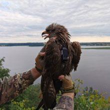Ornitologai Ventėje stebi paukščių kelionę: pritvirtino siųstuvus