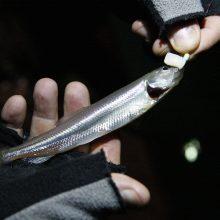 Žvejai trypia iš nekantrumo: artėja stintmetis