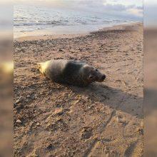 Krante rastas sužalotas ruoniukas užminė mįslių: kodėl juos bangos išmeta rudenį?