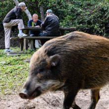 Apie kiaulių maro pavojų praneš informaciniai ženklai