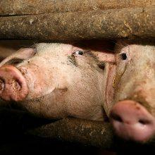 """""""Idavang"""" bendradarbiaus su smulkiaisiais kiaulių augintojais"""