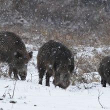 Per savaitę afrikinis kiaulių maras nustatytas 20 šernų
