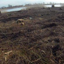 Tęsiamas tyrimas dėl Rusnėje iškirstų medžių: aptikta 4,5 tūkst. kelmų