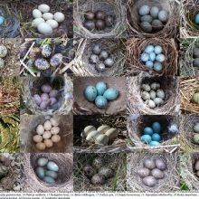 Lietuvoje perinčių paukščių kiaušiniai stebina įvairiausiomis spalvomis