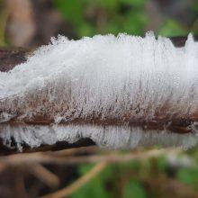 Eigulys miške užfiksavo itin retą reiškinį – ledo plaukus