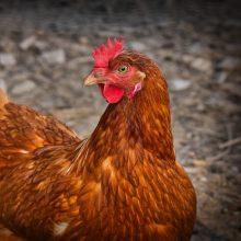 Nustatytas dar vienas paukščių gripo protrūkis: Lietuvai taip pat didėja rizika