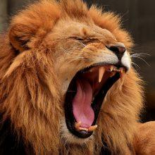 Zoologijos sode Australijoje liūtai apdraskė prižiūrėtoją: jos būklė kritinė