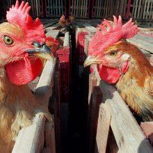 VMVT perspėja naminių paukščių augintojus: rudenį išaugs paukščių gripo rizika