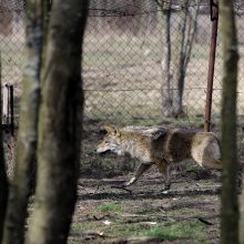 Regione įsisiautėjo vilkai