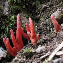 Vienas nuodingiausių grybų rastas už tūkstančių kilometrų nuo savo gimtųjų buveinių