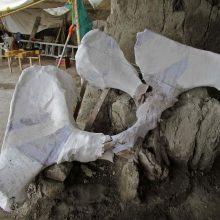 Rekordinis radinys: aptikta 800 mamutų kaulų