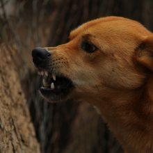 Prancūzijos miške medžiokliniai šunys mirtinai sukandžiojo nėščiąją