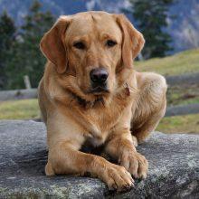 Suradus vieną labradorą, nuteistajam buvo panaikinta 50 metų kalėjimo bausmė