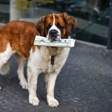 Pyksta dėl senbernarės Bitės skulptūros: ji negali tapti turgaus šunimi