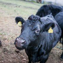 Deksteriai – mažasis stebuklas viename pakaunės ūkyje