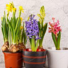Vazonėliuose – pavasario gaiva
