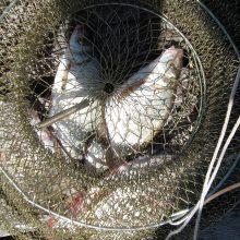 Siūlo uždrausti į verslinės žvejybos įrankius paimti pakliuvusias lašišas ir šlakius