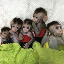 Klonuotos beždžionės pakeistais genais. Tai padės žmonėms?