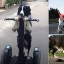 Šuo moka atlikti apie 250 triukų: keturkojis ir skaičiuoja, ir jodinėja žirgais