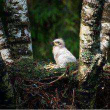 Miškuose – gyvūnų veisimosi metas: ką daryti radus vienišą ar susižeidusį jauniklį?