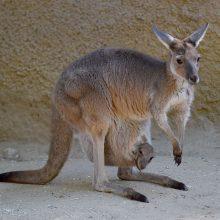 Australijoje paauglys tyčia suvažinėjo 20 kengūrų
