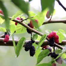 Šilkmedžio lapai organizmui naudingesni už špinatus: pasigaminkite sveikų patiekalų