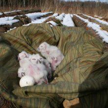 Nors lauke dar sniegas bet mieste perinčių naminių pelėdų lizduose jau gali cypsėti išsiritę jaunikliai.