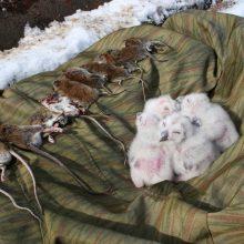 Iš inkilo iškelti 2-4 dienų amžiaus naminės pelėdos jaunikliai ir jiems maitinti suaugusių pelėdų atneštas maistas: rudieji pelėnai ir  geltonkaklės pelės.