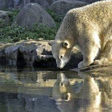 Rusų mokslininkai stebi daugėjant kanibalizmo atvejų tarp baltųjų meškų