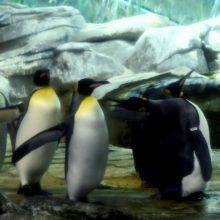 Berlyno zoologijos sode kiaušinį peri homoseksualių pingvinų pora
