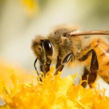 Bitės – protingesnės nei manyta: atskleista iki šiol nežinoma bičių atminties savybė
