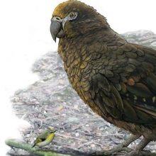 Naujojoje Zelandijoje rasta išnykusių papūgų milžinių liekanų