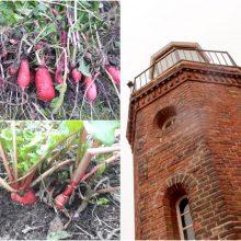 Pamarys laukia pavasario: sausį – ridikėlių derlius