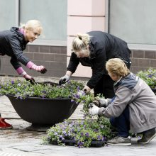 Klaipėdos gėlynuose – vasariškos spalvos