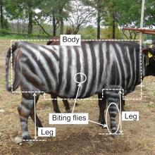 Karves pradėjo dažyti dryžiais – ateityje tai darys dauguma ūkininkų?