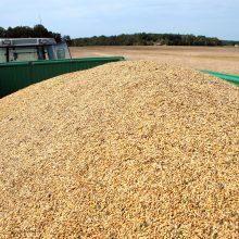Grūdų augintojai ir perdirbėjai: be paramos grūdų kokybė prastės, o derlius ir eksportas mažės