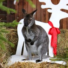 Kas per Kalėdas vyksta Zoologijos sode?