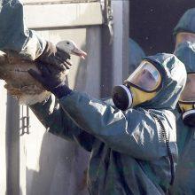 Skambina pavojaus varpais: Europoje patvirtinti nauji paukščių gripo protrūkiai