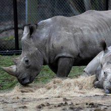 Žiaurus zoologijos sodo lankytojų elgesys: ant raganosio nugaros išbraižė savo vardus
