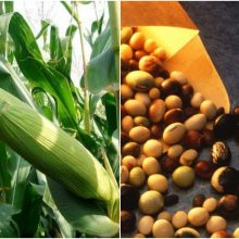 Europos Parlamentas nepritaria siūlomų genetiškai modifikuotų kultūrų importui į ES