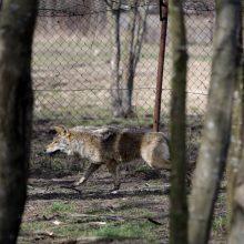 ŽŪM: elektriniams aptvarams apsaugai nuo vilkų įsirengti bus skiriama 1 mln. eurų