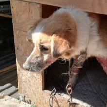 Radviliškio rajone surastas neprižiūrėtas ir sergantis šuo – jau saugiose rankose