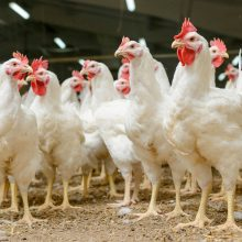 Patvirtinta 12 mln. eurų pagalbos schema paukštininkystės sektoriui remti
