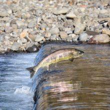 Aplinkos ministerija: nuo balandžio 1 d. privalu užtikrinti sąlygas žuvims neršti ir migruoti